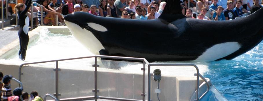 Califórnia proíbe Sea World de criar baleias em cativeiro